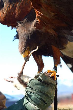 Spectacle de fauconnerie, animation de sensibilisation et de découverte de la nature ours, loups, lynx, marmottes, travail de dressage pour le cinéma.