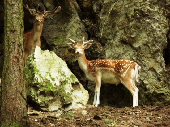La Vallée des Daims héberge aujourd'hui, plus de 200 bêtes, mâles et femelles confondus, dispersées et divisées en plusieurs hardes.