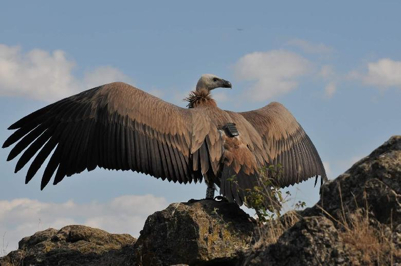 Les vautours des Grands Causses.