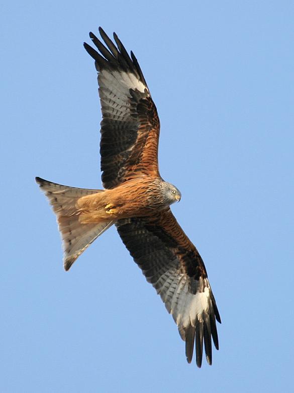Vous pouvez régulièrement observer le vol du Milan Royal dans le ciel d'Entraygues-sur-Truyère dans le Nord Aveyron.