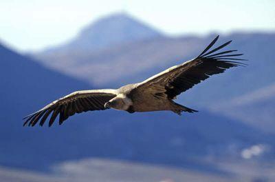 Découvrez le site de réintroduction de cette colonie de vautours, les différentes espèces, son environnement, son histoire en Lozère...