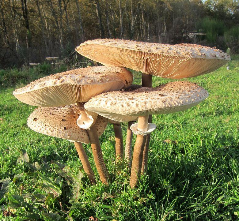 Le nom botanique de la coulemelle est est Macrolepiota Procera. On l'appelle aussi lépiote élevée, parasol, grande lépiote, nez de chat, couleuvré, baguette de tambour.