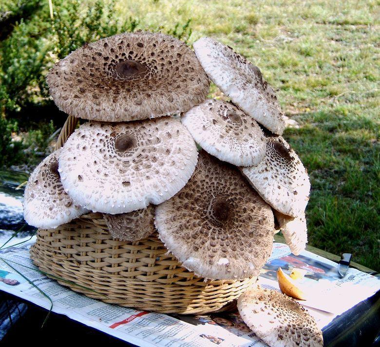Les coulemelles sont d'excellents champignons qui se cuisinent de nombreuses façons. Les têtes à peine ouvertes peuvent être farcis de viande, on peut les faire aussi simplement griller.
