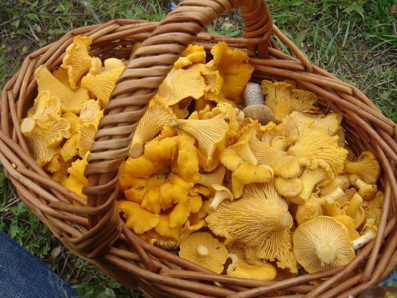 La Girolle, champignon sauvage jaune orangé de printemps et d'automne, fait le bonheur des ramasseurs de champignons mais aussi des gourmands qui les recherchent pour leur goût unique. Les girolles rentrent dans de nombreuses préparations culinaires.