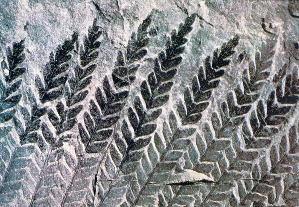 Une large partie du musée est consacrée aux nombreux fossiles de plantes découverts à Decazeville au cours de l'exploitation du charbon.