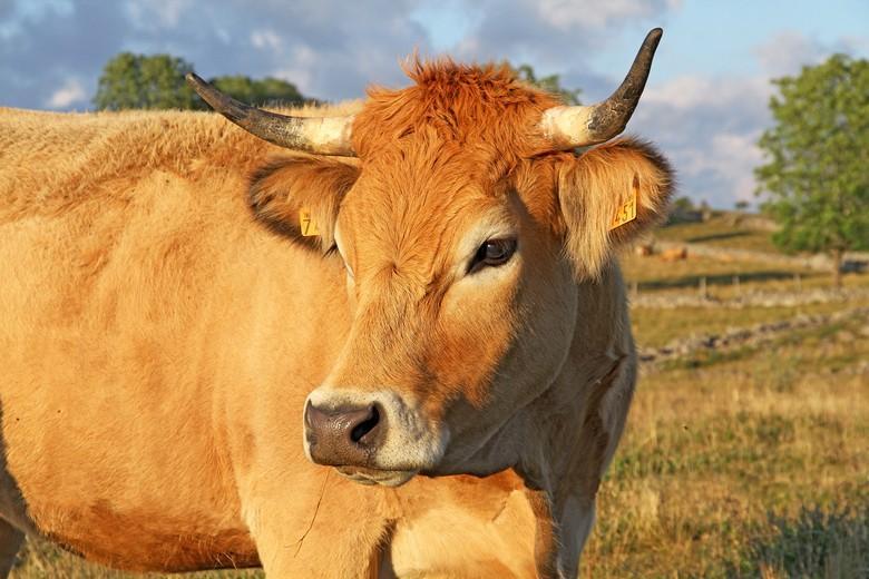 Le bovin d'Aubrac a de nombreuses qualités qui en font une excellente race mixte.