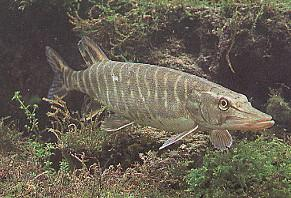 Le brochet - Pêche en Aveyron