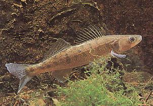 Le sandre - Pêche en Aveyron