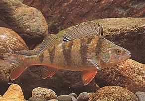La perche - Pêche en Aveyron