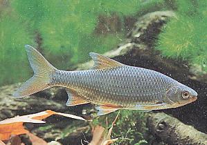 Le gardon - Pêche en Aveyron
