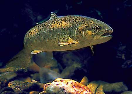 La truite fario - Pêche en Aveyron