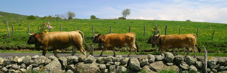 Transhumance vache Aubrac