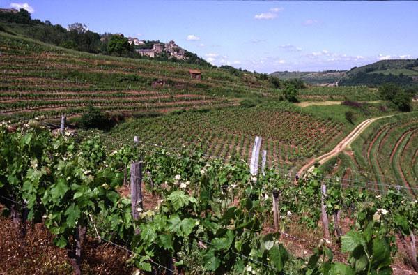Vins de Marcillac: petit vignoble AOC en Aveyron