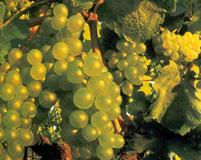 Vins d'Entraygues et du Fel - Chenin blanc - Aveyron